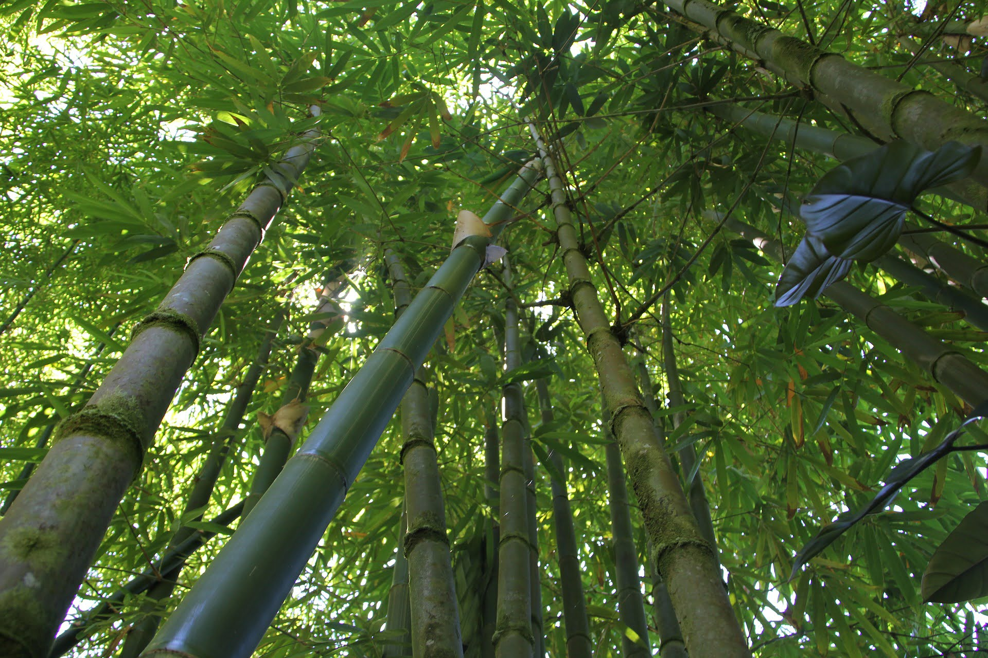 What Is Bamboo Tree Its Uses And Benefits