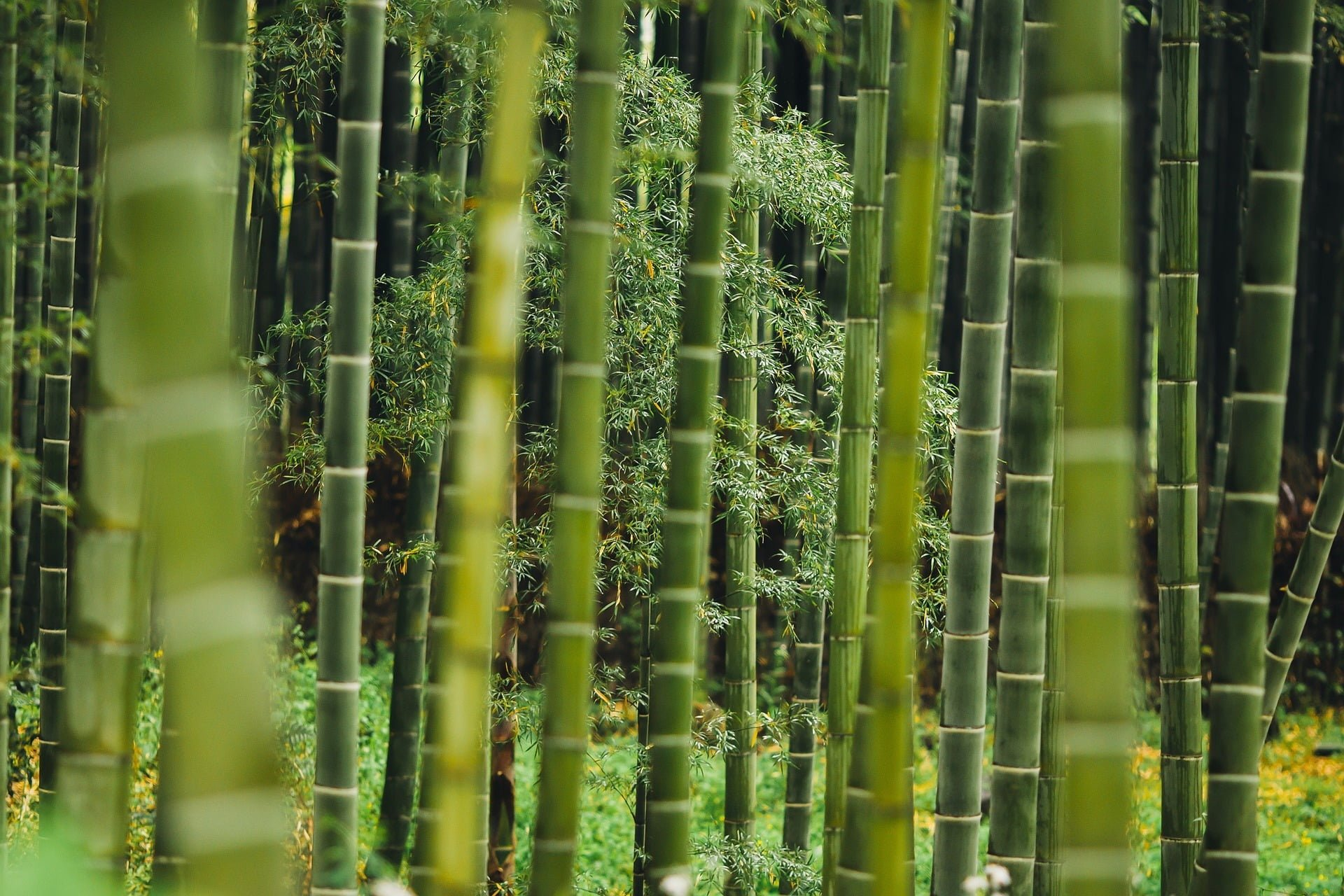 Thinning bamboo how to do know details about it for Bamboo coltivazione