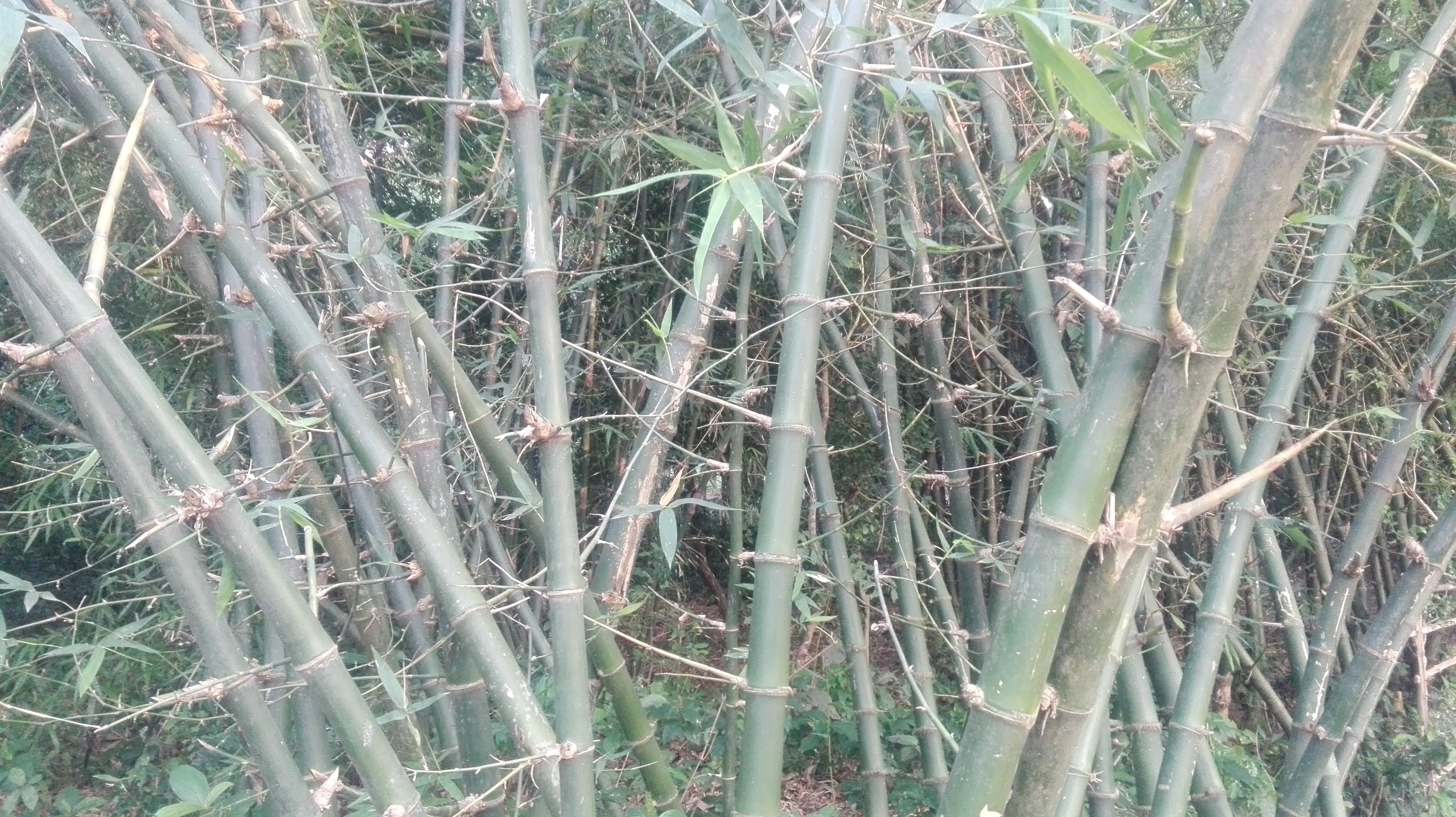 bamboo growth rate